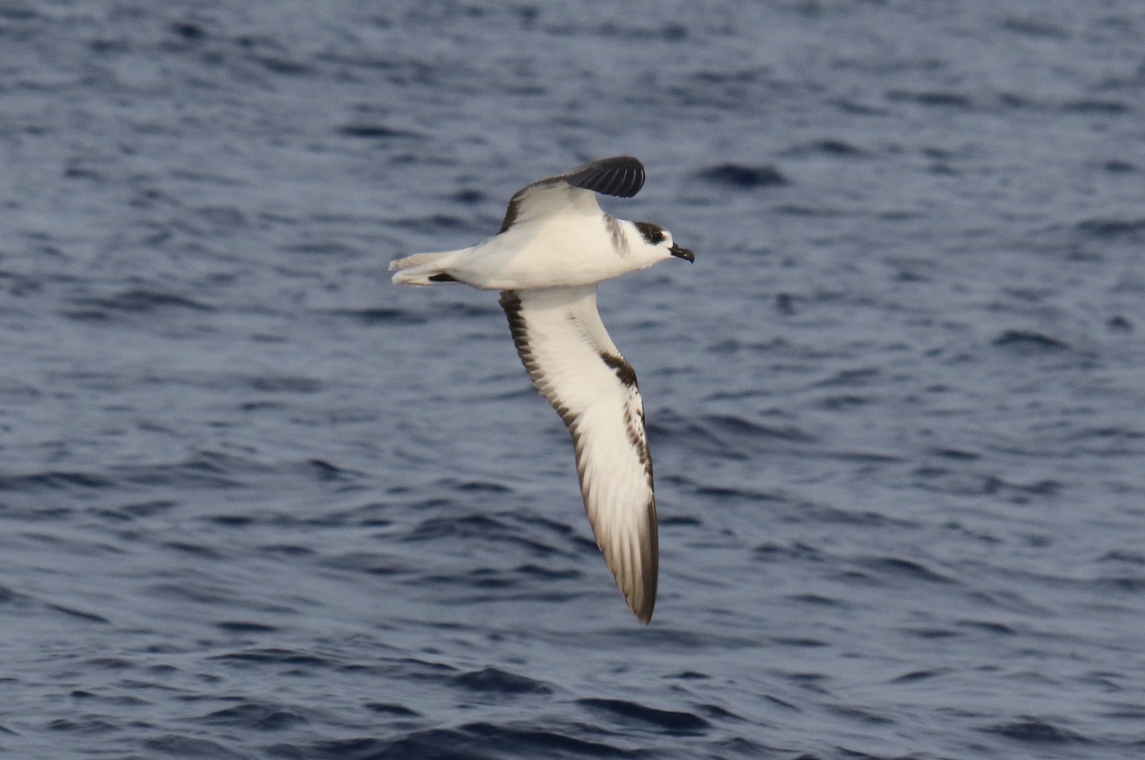 White-necked Petrel (Pterodroma cervicalis). Off Kona, Hawai'i Island, 12  Nov 2015. © Annie B. Douglas/Cascadia Research Collective ...
